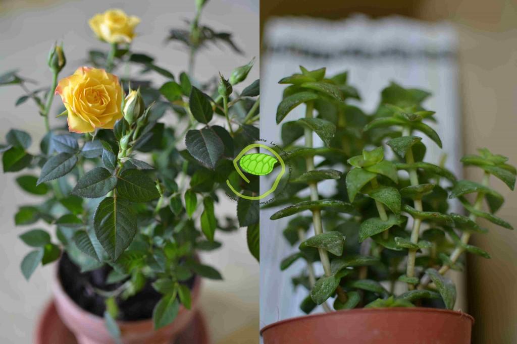 Rosier jaune pour moi et plante succulente pour mon fils !