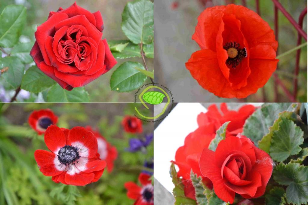 Rose, coquelicot, pavot et bégonia ...