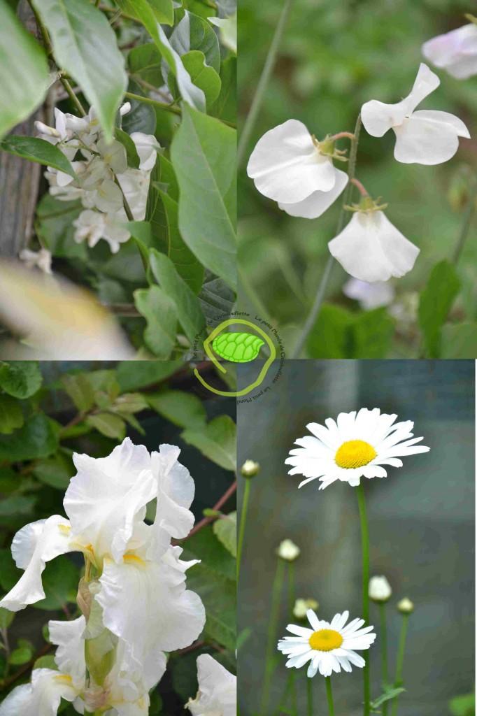 Glycine, pois de senteur, iris et marguerite ...
