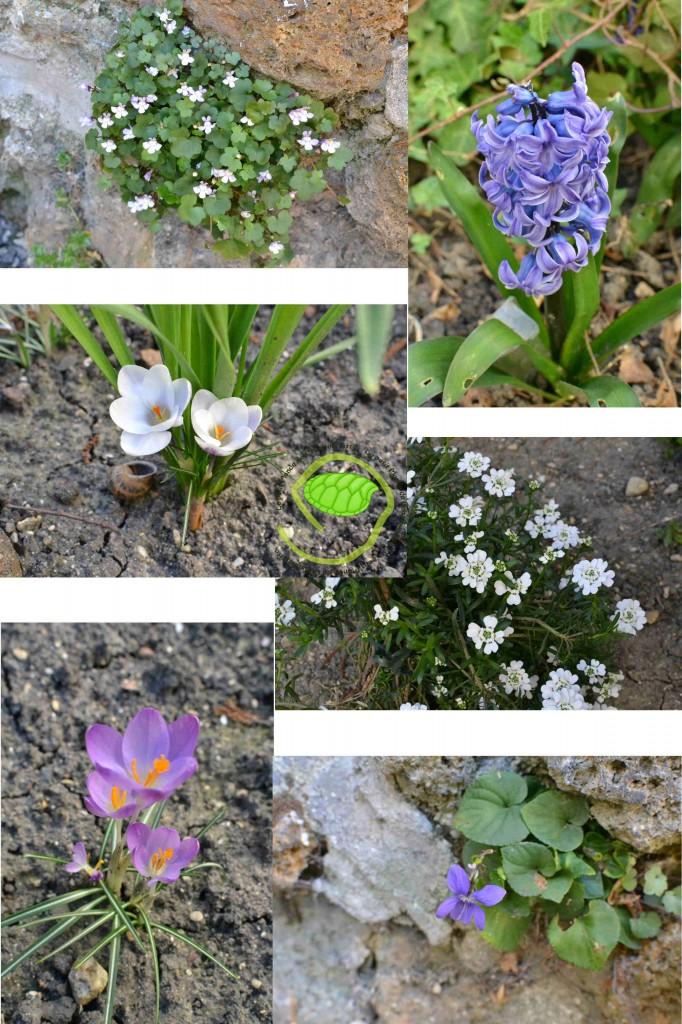 Jacinthe, crocus, violettes, corbeilles d'argent et autres ...