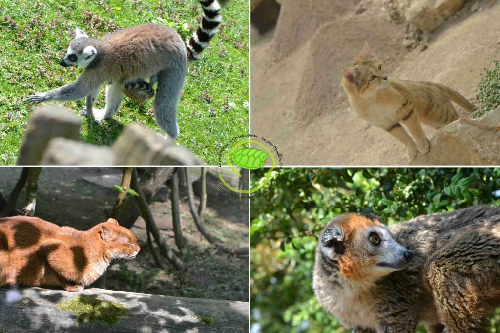 un lémurien, un chat du désert, un chat roux ... et encore un lémurien que l'on peut approcher de très près !