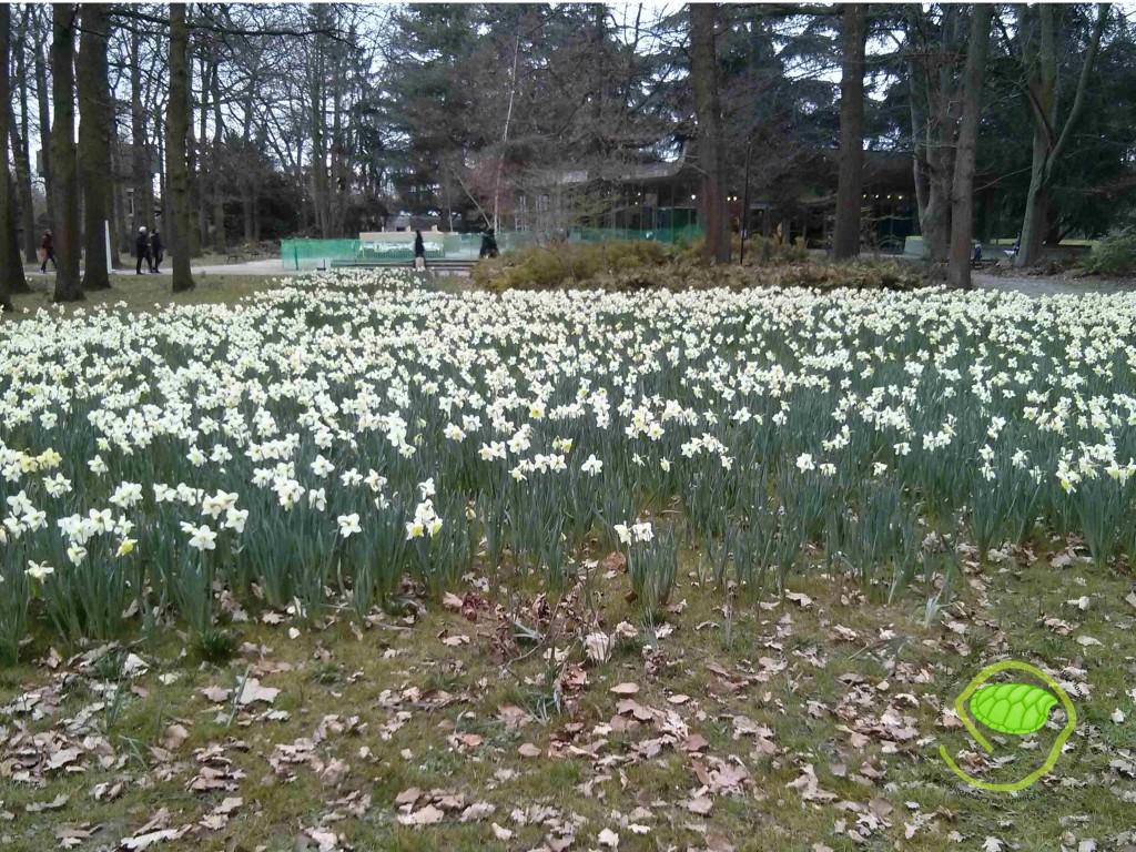 narcisses bicolores au parc floral