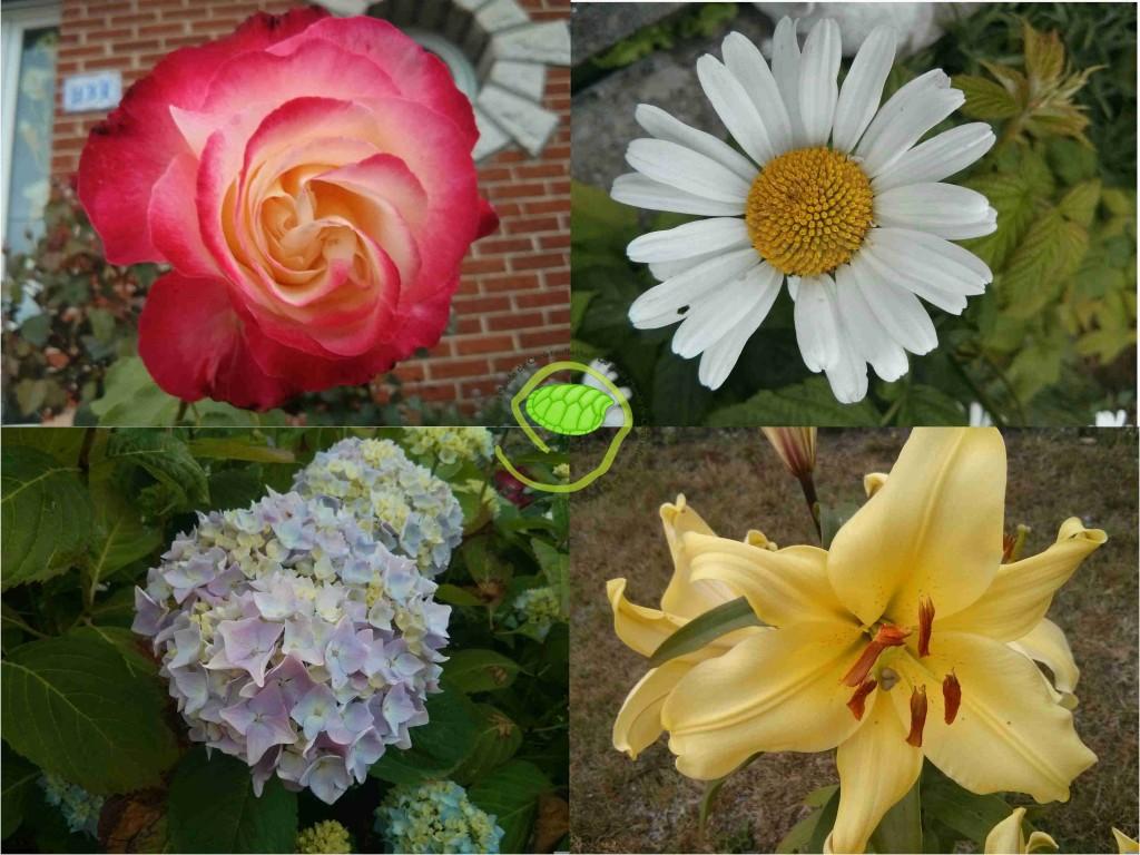 Rose, marguerite, hortensia et lys