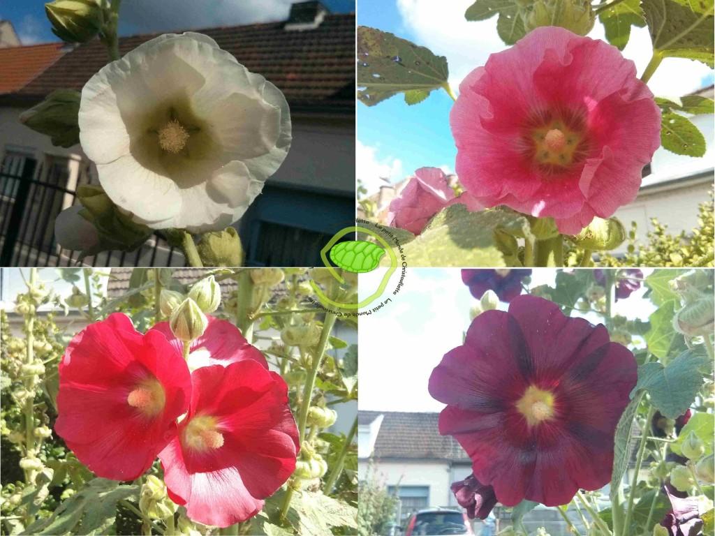 des roses trémières