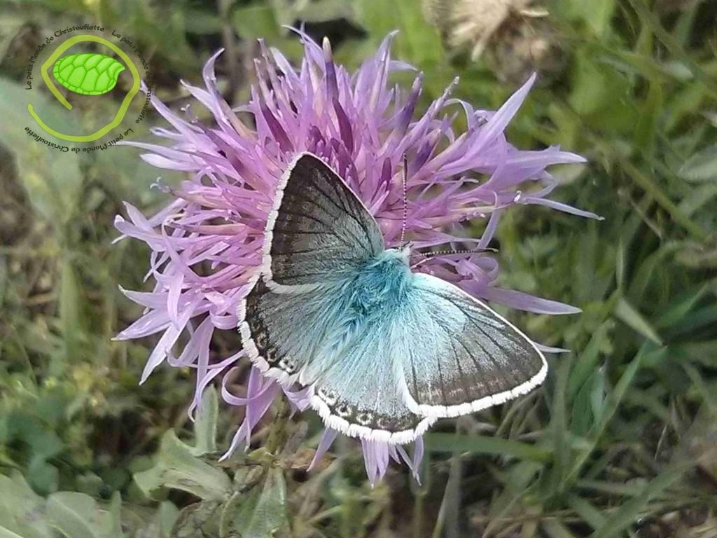 une nouveau papillon à mon tableau de chasse
