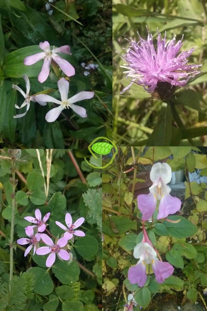 des fleurs mauves