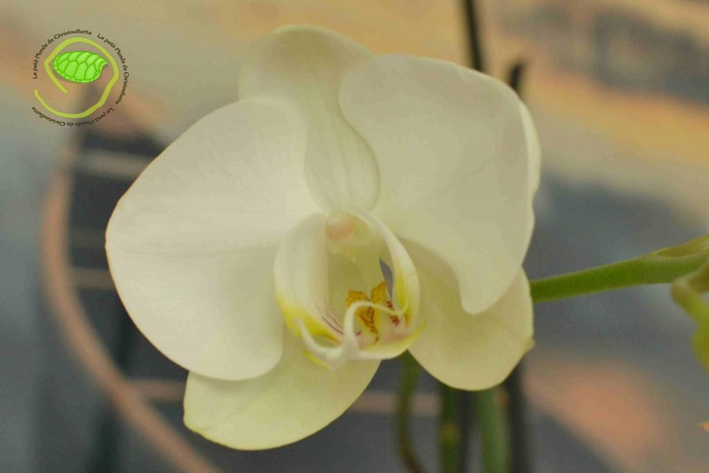 Mon orchidée fleurit !